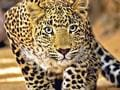 In defence of the 'stray' leopard: Why it's forced into human habitats