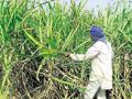 Farmers favour traditional crops over diversification