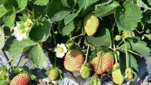 A farmer in Rajasthan's Chittorgarh  successfully grows different varieties of strawberry