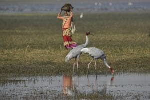 An ecosystem health assessment of wetlands under the 100 days programme of the Government of India indicated that one in every four wetlands had low to very low ecosystem health and faced high to very high threat. As wetlands degrade, so does their ability to make societies water, food and climate secure, and conserve the diversity of life.(Burhaan Kinu/HT PHOTO)