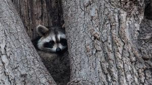 A raccoon rests in the hollow of a tree near Orchard Beach in New York.(AFP)