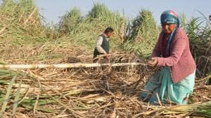 Uttarakhand produced 2.72 lakh metric tonne sugarcane in 2017-18 and has pending arrears of Rs 530 crore. States having greater production have lower arrears.(HT Photo)