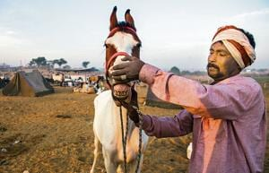 Getting his teeth into a sale: At the Pushkar Camel Fair in Pushkar, Rajasthan.(Bloomberg via Getty Images)