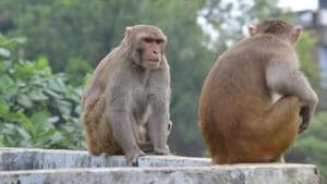 The Chidiapur centre in Haridwar district has sterilised more than 1,300 monkeys since October 2016.(HT Photo)