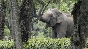 A wild adult male elephant inside Bhooteachang tea estate. (Photos: Ankush Saikia)(File photo for representation)