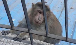 One of the monkeys that entered Mayur Maru's residence last week.(HT photo)