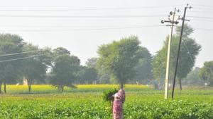 A woman works in a field in Shekhawati area in Rajasthan. The move will benefit around 15 lakh families in the state.(HT Photo)