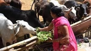 Oxytocin is widely used in dairy farms for more production of milk, but it is leading to harmful effects on humans and livestock.(Photo for representation)