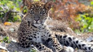Experts have expressed concern over threat to wild animals inside the reserve.(HT FILE PHOTO)