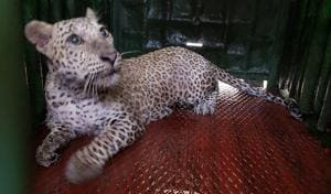 The leopard that was rescued from Aarey Colony on Sunday.(HT photo)
