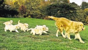 Dog breeds, such as Siberian husky and golden retriever, need high maintenance and regular grooming.(HT)