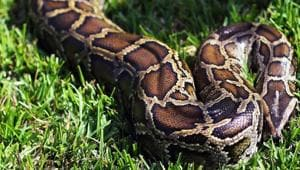 A 54-year-old woman was swallowed by a seven-metre long python in the village of Persiapan Lawela on the island of Muna, offshore of Sulawesi.(AFP Photo/Representative image)