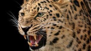 The leopard pounced on the boy on Saturday evening and half-eaten body of the boy was found in a forest on Sunday.(Getty Images)
