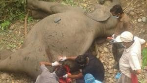 Injured elephant being treated by wildlife experts in Haridwar. The animal later succumbed to injuries on Tuesday.(Rameshwar Gaur /HT)