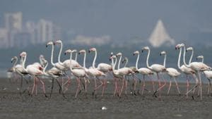 BNHS officials said the study suggests 30,000 to 35,000 birds wintered in Mumbai the past winter, compared to 40,000 to 45,000 in the earlier seasons.(HT File Photo)
