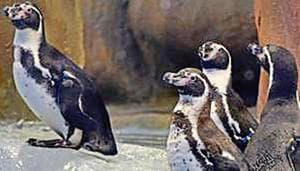 Humboldt penguins in their 1,500-square-foot enclosure in Byculla zoo.(HT File Photo)