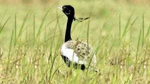 The Lesser Florican is one of the four bustard species of India.(File Photo)