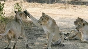 Ambardi's boundary touches the forest area of the Gir National Park, the last abode of lions in Asia.(AFP)
