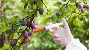 GM foods cannot be manufactured, imported or sold in India, according to the Food Safety and Standards Authority of India (FSSAI) that is charged with ensuring food safety.(Shutterstock)