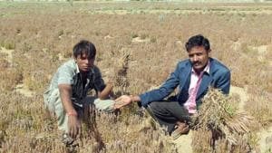 Farmers show crops destroyed by rain and hailstorm in Rajasthan.(HT File Photo)