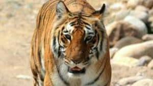 Corbett corridor is also the most significant habitat of wildlife, such as tigers, elephants, leopards, bears, and around 600 bird species, the Uttarakhand HC said.(Picture for representation)