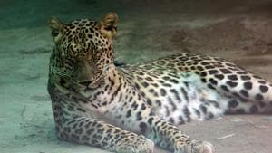 The Raipur zoo's response is that the leopards are the same, but they were just marked with the wrong microchips.(HT/Picture for representation)