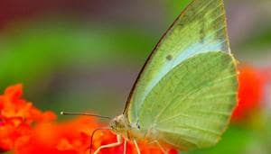 A butterfly rests on a flower in a city garden in Ludhiana on Tuesday, September 04, 2018.(HT File Photo)