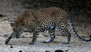 Another leopard has created terror in Bageshwar district. There it killed a four-year girl in on September 3. The incident created panic in the area, with people demanding that the leopard be declared a man-eater and killed.(Picture for representation)