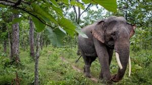 The elephant also entered a village and attacked a 70-year-old-man before it was caught and chained by forest officials with help from its mahout (trainer).(AFP/Picture for representation)