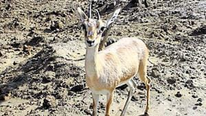 The Chinkara's conservation status according to International Union for Conservation of Nature is 'least concerned' — two categories below vulnerable.(HT Photo / Representative Image)