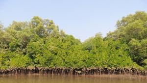 Mangrove cover in Ratnagiri saw a 25% rise from 2017.(HT FILE)