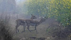 The new habitat, which is around 70 km from Delhi in the National Capital Region (NCR), was discovered after residents reported two poached blackbucks in October and November.(HT Photo)