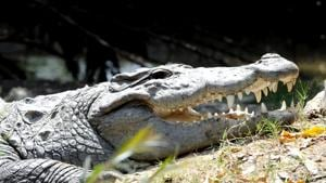 An Indonesian man has been mauled to death by a crocodile in Malaysia.Photo by Bharat Bhushan Hindustan Times (Representative Image)(HT Photo)