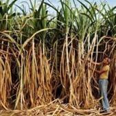 Uttarakhand school student found hanging in a sugarcane field