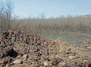The patch of mangrove at CSF Punjab Warehouse dried as tidal water flow was stopped.(Ht PHOTO)