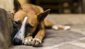 A woman has been fined Rs 3.60 lakh for feeding the stray dogs.(Getty Images/iStockphoto)