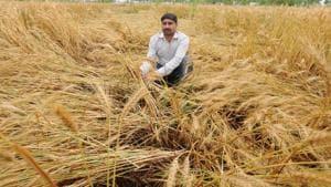 Unseasonal rain brings destruction to crops in north