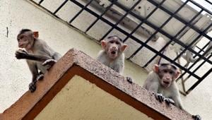 To control the monkey menace in the city, the Delhi government's forest department is pinning all its hopes on an injectable contraceptive, developed by an IIT Delhi professor in the 1980s, for human males.(Praful Gangurde)