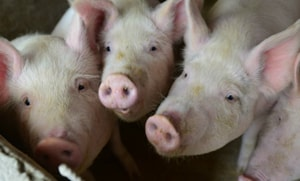 The authorities have detected contaminated pork products at airports and borders, but have not yet found any cases at farms.(AP/ Representative Image)