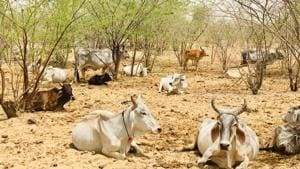 In drought-hit Barmer, camps only for bovines but not for other animals