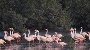 The wetland and the adjacent Thane Creek Flamingo Sanctuary are globally significant, serving as a stop for migratory birds using the Central Asian Flyway.(HT File Photo/Praful Gangurde)