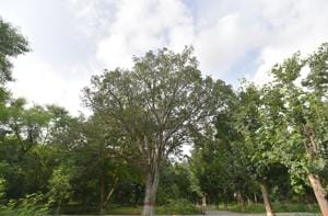"""Public sector undertakings (PSUs) and private companies may be given a chance to raise these trees and earn from it,"""" a senior official said.(Anushree Fadnavis/HT File Photo)"""