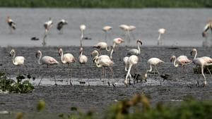 A swarm of more than 150 Greater Flamingo has arrived at the national capital region's Okhla Bird Sanctuary in Noida.(Ajay Aggarwal/HT PHOTO)