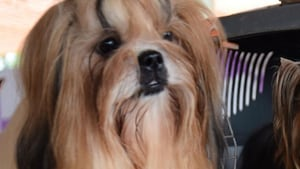 Two Shih Tzu dogs were killed at a condominium in Sector 65. The dogs' autopsy report revealed multiple organ rupture, broken spines and internal bleeding, said animal rights activist Akshima Jhajharia.(Representative Image/HT Photos)