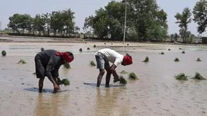 Despite efforts by government officials, farmers in Punjab's Moga district are firm on sowing paddy in more than 1.77 lakh hectares of land.(HT Photo)