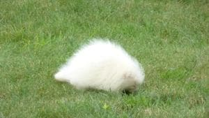 The animal resembles a white throw pillow or perhaps a toupee.(Facebook/@neerhs)
