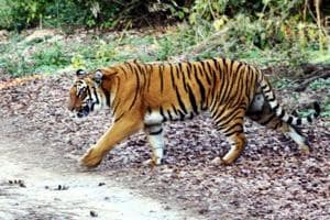 A tiger crossing a road at Corbett Tiger Reserve in Ramnagar.(HT File Photo)