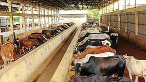 Initially, one lakh cattle will be offered for adoption.(HT archive)