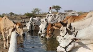 A group of Cow drinking water in a water tank on a hot, sunny day on the outskirts of Jabalpur on Sunday.(ANI)