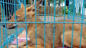 The golden jackal is native to the Indian subcontinent and protected under Schedule II of the Wildlife Protection Act, 1972.(HT image)